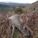 Highcountry Roebuck