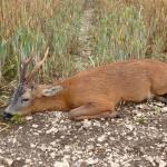 Yorkshire Roe Buck
