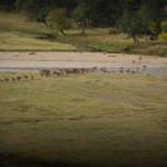 Red Deer cross the River Dee